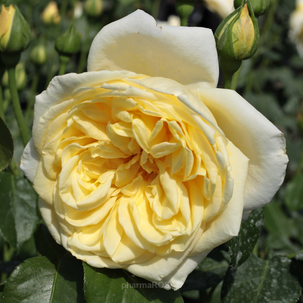 Плетистая роза желтая казино добрынин казино минусовка